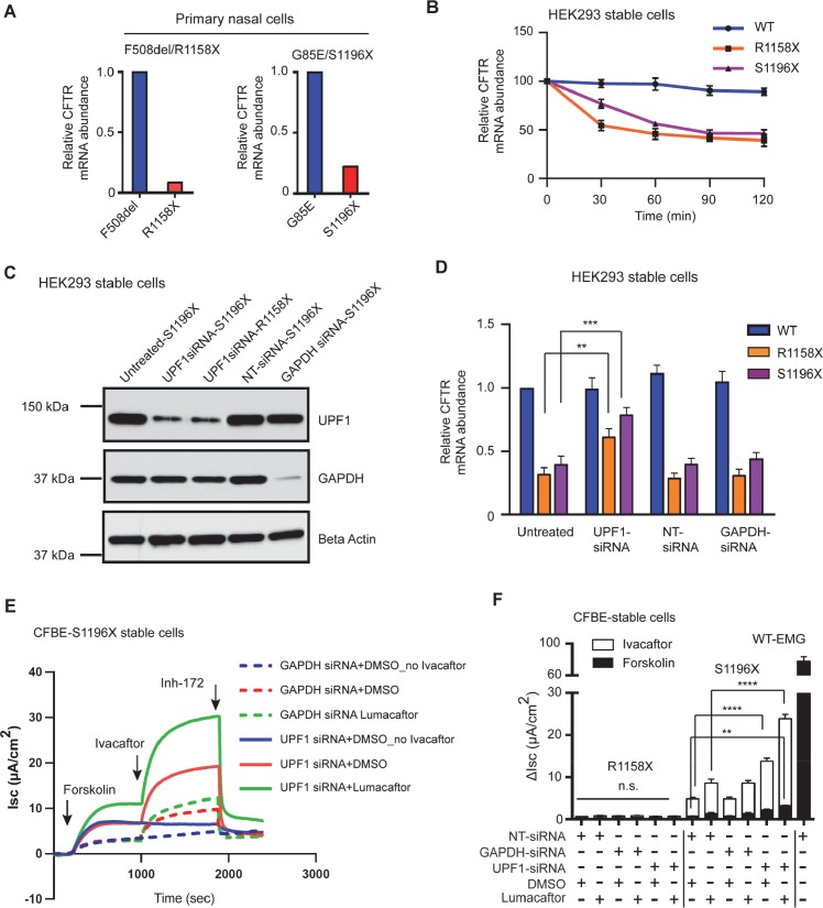 NMD inhibition has a synergistic effect on corrector-potentiator combination response in stable cells expressing nonsense variants in exon 22 that produce mature truncated CFTR. (A) Relative expression of the alternate CFTR allele in the primary nasal cells of CF individuals carrying exon 22 nonsense variant. Pyrosequencing assay was designed such that exon 22 with upstream and downstream flanking exons was amplified from the corresponding cDNA preparations. Sequencing primer yielded relative abundances of alternate alleles at the respective loci where nucleotide change occurred. (B ) CFTR mRNA decay in HEK293 cells stably expressing wild type EMG or EMG harboring nonsense variants R1158X or S1196X. Actinomycin D (3 μg/ml) was added at time 0 to induce transcriptional shut-down. Cells were collected at the indicated time points. Levels of the CFTR mRNAs were assessed by RT-qPCR, normalized to B2M mRNA and displayed as a percentage of the levels at t = 0. Mean ± SEM ( n = 3) (C) Efficiency of siRNA mediated knock down of UPF1 detected on IB of whole cell lysates collected from HEK293 cells stably expressing either R1158X or S1196X. GAPDH siRNA and non-target (NT) siRNA were used as positive and negative controls respectively. Beta-Actin was used as loading control. (D) Effect of direct NMD inhibition on the level of CFTR transcript by siRNA mediated knock down of UPF1 in HEK293 cells stably expressing either R1158X or S1196X. Levels of the CFTR mRNAs were assessed by RT-qPCR and normalized to B2M mRNA. Mean ± SEM, n = 3 independent biological triplicates, P value was determined by two way ANOVA. ** ( P ≤0.01) and *** ( P ≤0.001) indicate significant difference when compared with CFTR mRNA abundance in untreated cells (E) Short-circuit (I sc ) tracings of CFBE-S1196X stable cells recorded in Ussing chambers after direct inhibition of NMD by UPF1 . Cells were transfected with Upf1 siRNA at 50% confluency for 4 days before being mounted on Ussing chambers. GAPDH and non