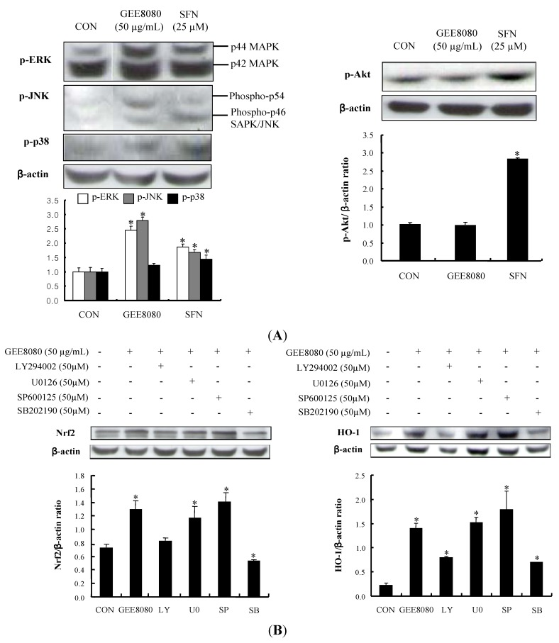 Effects of ginger extracts on the phosphorylations of upstream targets in HepG2 cells. ( A ) Effect of ginger extracts on phosphorylation of MAPKs and Akt. HepG2 cells were treated with 50 µg/mL ginger extracts for 1 h; ( B ) Influence of MAPK inhibitors on GEE8080-induced Nrf2 and HO-1 expression. HepG2 cells pretreated with vehicle or 50 μM U0126 (MEK1/2 inhibitor), SP600125 (JNK inhibitor), SB202190 (p38 inhibitor), and LY294002 (Akt inhibitor) for 1 h prior to treatment with 50 μg/mL GEE8080 for 1 h. The blots are shown representative of three independent experiments with similar results and data represent the means ± S.D. Locations for each concentration marked letters are significantly different at * p