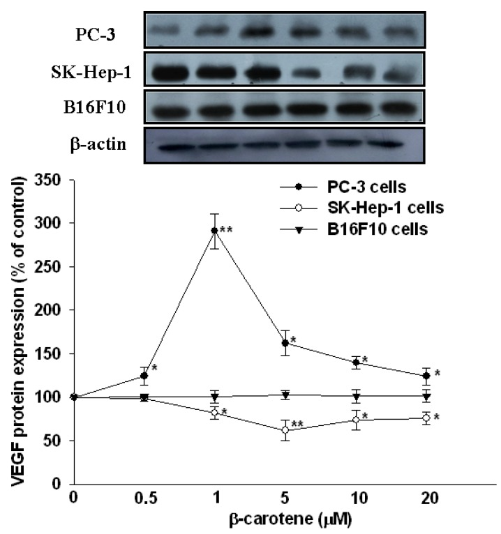 Effect of β-carotene (BC) on protein expression of VEGF in SK-Hep-1, PC-3 and B16F10 cells. Cells were incubated with BC (0–20 μM) for 6 h. Data (means ± SD) are from three or four separate experiments; * P
