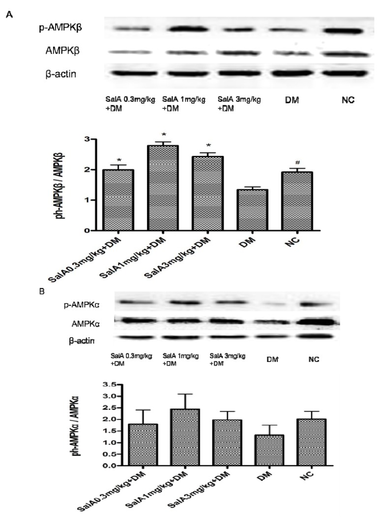 Representative Western blot analyses of p-AMPKβ and AMPKβ ( A ), p-AMPKα and AMPKα ( B ) in rat sciatic nerves. Protein expression was analyzed by western blot, and bands were quantified by densitometry. β-Actin was used as a loading control and for relative quantification in all cases. # p