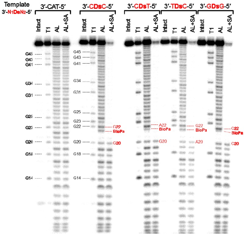 Sequence analysis of the 48-mer transcripts containing Biotin- Pa or U at position 21. The 5′ 3 2 P-labeled transcripts were partially digested with either RNase T1 (T1) or with alkali (AL). A portion of the partially alkali-digested transcripts was treated with streptavidin magnetic beads, to capture the RNA fragments containing Biotin- Pa (AL+SA). Each digested fragment was analyzed on a 10% polyacrylamide gel containing 7 M urea.