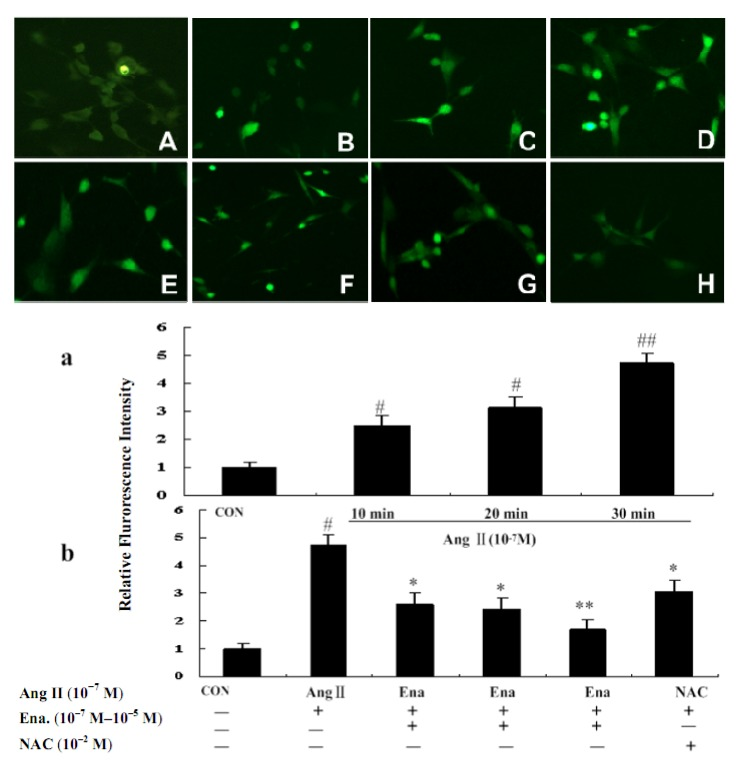 Effects of Ena. and antioxidant NAC on ROS intensity of cardiac fibroblasts in fluorescence microscope (200×). CFb were cultured in Dulbecco's Modified Eagle Medium containing Ang II (10 −7 M) for 10 minutes, 20 minutes and 30 minutes, and treated with enalaprilat (10 −7 M, 10 −6 M, and 10 −5 M) for 30 minutes. CFb were labeled with 2',7'-dichlorofluorescein diacetate for 30 minutes and ROS generation was analyzed by fluorescence detection with fluorescent microscopy at 200×. Upper part: A :CFb were cultured in Dulbecco's Modified Eagle Medium without Ang II; B : CFb were stimulated with Ang II for 10 min; C : CFb were stimulated with Ang II for 20 min; D : CFb were stimulated with Ang II for30 minutes; E – G : CFb were stimulated with Ang II and treated with Ena.(10 –7 M, 10 –6 M, and 10 –5 M respectively) for 30 minutes; H : CFb were stimulated with Ang II and treated with NAC (10 –2 M, 30 minutes prior to Ang IIadministration) for 30 minutes. Lower part: a and b : Statistic representations are indicated as bars in involved group. Data are presented as mean ± S.E.M. # P