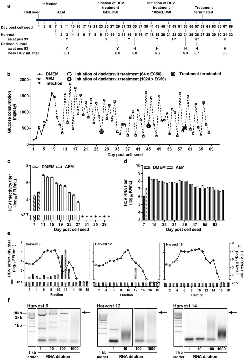 Induction of HCV escape from a direct acting antiviral in HFBR. ( a ) Timeline of Huh7.5 cell cultivation in DMEM + 10%FBS and serum-free AEM, indicating infection with HCV and initiation of treatment with different concentrations of the NS5A inhibitor daclatasvir (DCV). HCV from HFBR harvests (1000 μL, 50 μL or 5 μL) were used for infection of 10 6 Huh7.5 cells plated the previous day in T25 cell culture flasks (derived cultures). Peak infectivity titers in derived cultures are reported. Amino acid at NS5A position 93 according to the H77 reference sequence (GenBank accession no AF009606) was determined by Sanger sequencing for selected harvests and derived cultures. *, H at position 93 was present in ~50% of viral genomes. ( b ) 8 × 10 7 Huh7.5 cells were seeded in a hollow fiber bioreactor in DMEM + 10% FBS and infected with 1.25 × 10 6 FFU of HCV third passage stock on day 5 post cell seeding, when glucose consumption was 590 mg/day (arrow). At day 9 post cell seeding DMEM was replaced with serum-free AEM. Treatment with daclatasvir at 7.8 nM (corresponding to 64 x EC50 29 ) was initiated at day 27 post cell seeding; at day 45 the concentration was increased to 124.2 nM (corresponding to 1024 x EC50). On day 59 the treatment was terminated. ( c and d ) Determination of HCV infectivity titers and HCV RNA titers were carried out as described in Fig. 2 . *, indicates HCV infectivity titers below assay detection level. ( e ) HCV from harvest 9, 12 and 16 were loaded on 10–40% iodixanol gradients. Following ultracentrifugation 18 fractions were collected as in Fig. 5 . HCV infectivity and HCV RNA titers of each fraction were determined as described for Fig. 2 . ( f ) RNA extracted from harvest 9, 12 and 14 at 1-, 10-, 100- and 1000-fold dilution was used for RT-PCR for generation of a full-length amplicon spanning the complete HCV ORF. PCR products were visualized on a 1% agarose gel including a 1 kb DNA ladder; expected positions of full-length <t>amplicons</t> are 