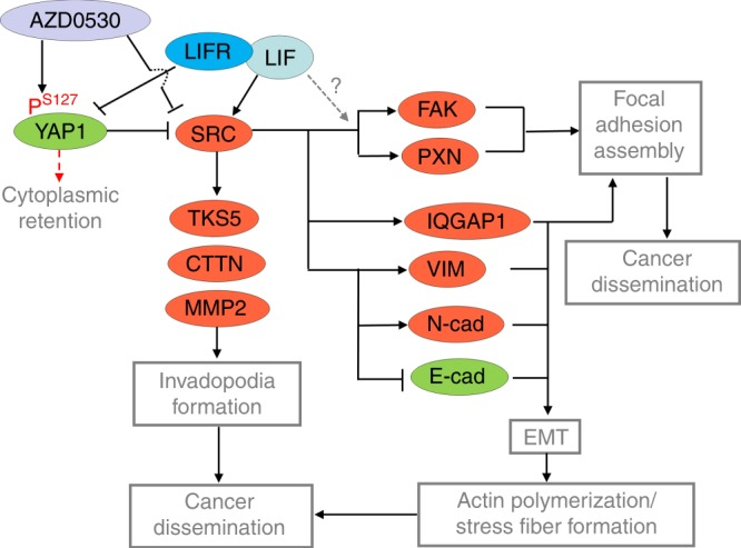 The schematic model for <t>LIF-mediated</t> cancer dissemination in <t>NPC</t>