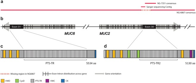 Schematic presentation of the assembled sequence for RP13-870H17 produced from <t>PacBio</t> <t>SMRT</t> and Sanger sequencing. ( a ) The RP13-870H17 assembly from SMRT sequencing results of whole BAC clone (NG-6867) and Hinf I MUC2 PTS-TR2 fragment sequence (NG-7351) assembled with Sanger sequencing. ( b ) Schematic picture of MUC6 and MUC2 gene organization showing the gene orientation and exon and intron distribution. ( c,d ) Resulting protein domain organization for MUC6 and MUC2. VWD = von Willebrand like domain type D, VWC = von Willebrand like domain type C, CK = C -terminal cystine knot.