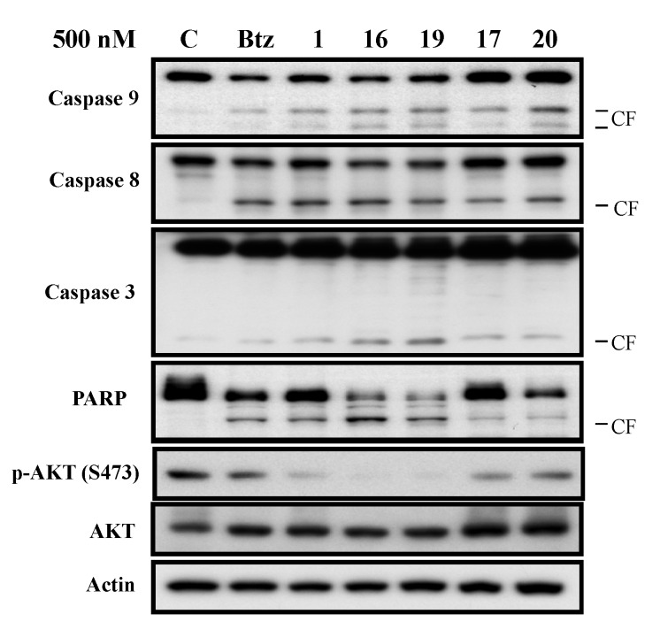 Western blot analysis of Akt (Akt1), p-Akt (Ser473), caspases and PARP levels. Sk-hep1 cells were exposed to bortezomib and derivatives at 500 nM in DMEM with 5% FBS for 24 h. Cell lysates were prepared for Akt (Akt1), p-Akt (Ser473), caspase-8, caspase-9, caspase-3, and PARP. CF, cleaved form (activated form).