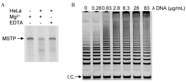 ( A ) Electrophoresis of MSTP-based telomerase reaction products in the absence or presence of HeLa cells lysates, Mg 2+ , and EDTA; ( B ) Electrophoresis of PCR-amplified telomerase reaction products synthesized in the presence of various concentrations of λ DNA.