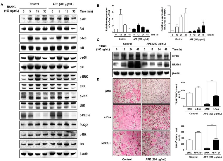 Aconitum pseudo-laeve var. erectum (APE) suppresses receptor activator of nuclear factor kappa-B ligand (RANKL)-induced c-Fos and nuclear factor of activated T-cells, cytoplasmic 1 (NFATc1) expression without stimulating early signal pathways. ( A ) Bone marrow macrophages (BMMs) were pretreated with DMSO (control) or APE (200 µg/mL) for 1 h in the presence of macrophage colony-stimulating factor (M-CSF; 30 ng/mL) and were stimulated with RANKL (100 ng/mL) for the indicated times. Whole-cell lysates underwent western blot analysis with the various indicated antibodies. β-actin served as the internal control; ( B ) BMMs were stimulated with RANKL (100 ng/mL) and M-CSF (30 ng/mL) in the presence or absence of APE (200 µg/mL) for the indicated times. Total RNA was isolated from cells using QIAzol reagent and mRNA expression levels of c-Fos and NFATc1 were evaluated using real-time PCR; ( C ) Effects of APE on protein expression levels of c-Fos and NFATc1 were evaluated using western blot analysis. β-actin was used as the internal control; ( D ) BMMs were infected with retroviruses expressing pMX-IRES-EGFP (pMX), pMX-NFATc1-EGFP, and pMX-cFos-EGFP. Infected BMMs were cultured with or without APE (200 µg/mL) in the presence of M-CSF (30 ng/mL) and RANKL (100 ng/mL) for 4 days. After culturing, the cells were fixed and stained for tartrate-resistant acid phosphatase (TRAP) (left). The TRAP-positive multinucleated osteoclasts were counted (right).