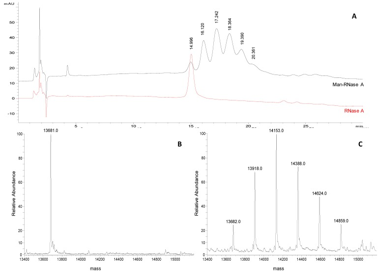 ( A ) Representative chromatograms of Man-RNase A and RNase A (1 mg/mL and 0.25 mg/mL, respectively; acetonitrile/water 50:50, v/v) obtained applying the selected chromatographic conditions (see experimental section). ( B ) Deconvoluted ESI-LTQ-MS spectrum for RNase A (13,681 Da). ( C ) Deconvoluted ESI-LTQ-MS spectrum for Man-RNase A (RNase A 13,681 Da, + 235 Da per mannose unit added).