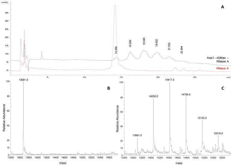 ( A ) Representative chromatograms of Ara(1→6)Man-RNase A and RNase A (1 mg/mL and 0.25 mg/mL, respectively; acetonitrile/water 50:50, v/v) obtained applying the selected chromatographic conditions (see experimental section). ( B ) Deconvoluted ESI-LTQ-MS spectrum for RNase A (13,681 Da). ( C ) Deconvoluted ESI-LTQ-MS spectrum for Ara(1→6)Man-RNase A (RNase A 13,681 Da + 367 Da per Ara(1→6)Man unit added).