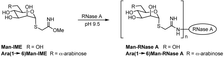 Synthesis of  neo -glycoproteins by coupling of IME-thioglycoside with RNase A.