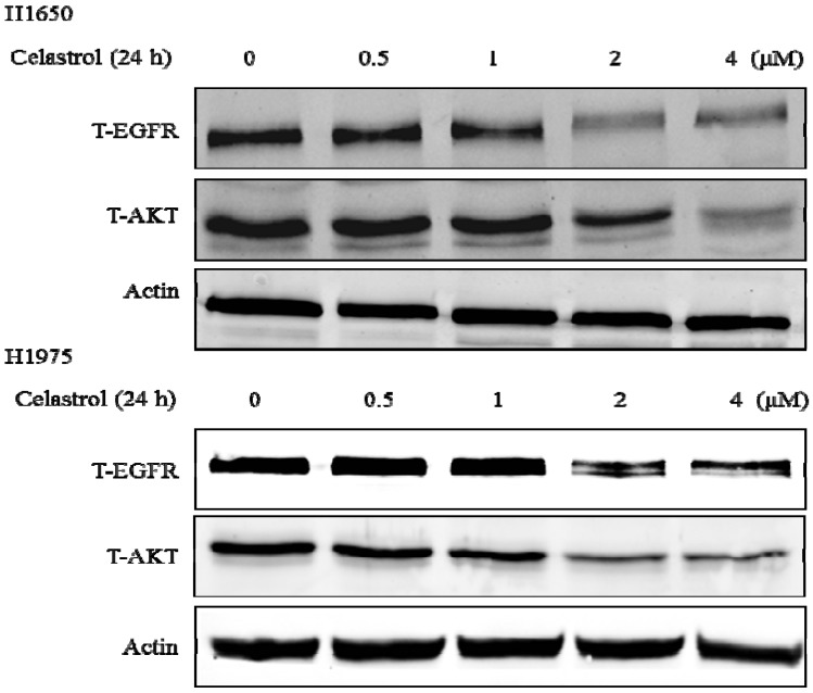 Celastrol significantly induced the degradation of Hsp90 client proteins: EGFR and AKT in both H1650 and H1975.