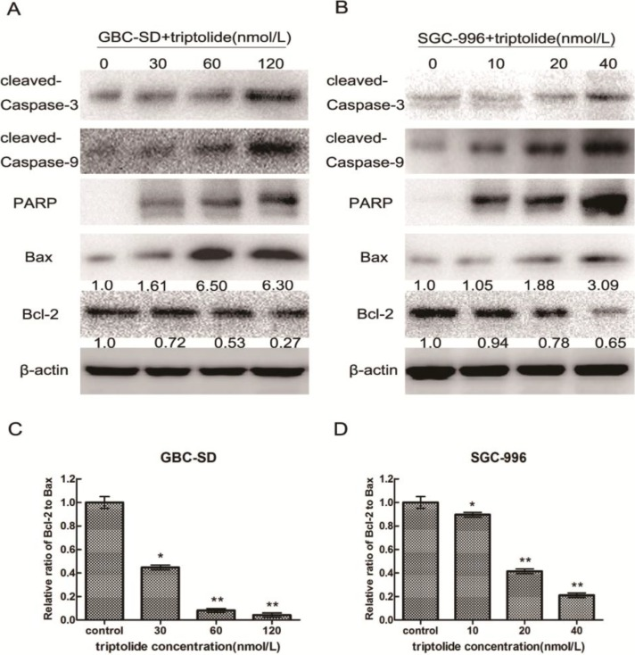 Triptolide regulates the expression of apoptosis-related proteins in gallbladder cancer cells. Expression of cleaved-caspase-3, cleaved-caspase-9, cleaved-PARP, Bax, and Bcl-2 in GBC-SD cells ( A ) and SGC-996 cells ( B ) treated with triptolide at the indicated doses for 48h. β-actin was used as a loading control. ( C ) and ( D ), Ratio of Bcl-2 to Bax determined by band density, shown as mean ± SD, compared with the control (designated as 1.00). * p