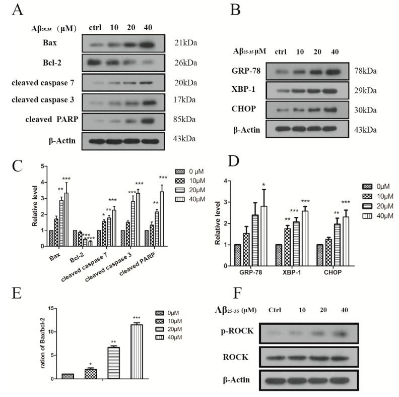 ( A ) Aβ 25–35 induced the expression of the apoptosis protein in the cardiac myocyte; ( B ) Aβ 25–35 induced the expression of ER stress marker in the cardiac myocyte. Cells were treated with indicated concentrations of Aβ 25–35 for 24 h and subjected to western blotting to measure the related protein; ( C – D ) Relative protein levels were quantified by densitometry and shown in the histogram; ( E ) The ratio of the Bax/Bcl-2; ( F ) Aβ 25–35 decreased the expression ROCK protein. Values are expressed as mean ± SEM of three independent experiments, each in triplicate. * p