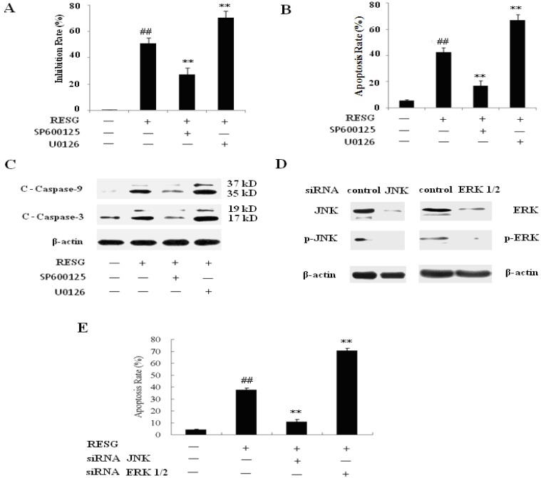 Effects of inhibition JNK and ERK on RESG-mediated antiumor effect. SMMC-7721 cell was pretreated with SP600125 (10 μM) and U0126 (20 μM) for 2 h, and then it treated with 20 μM RESG for 48 h, ( A ) the inhibition rates were calculated by MTT assay. Data were expressed as means ± SD. ** p
