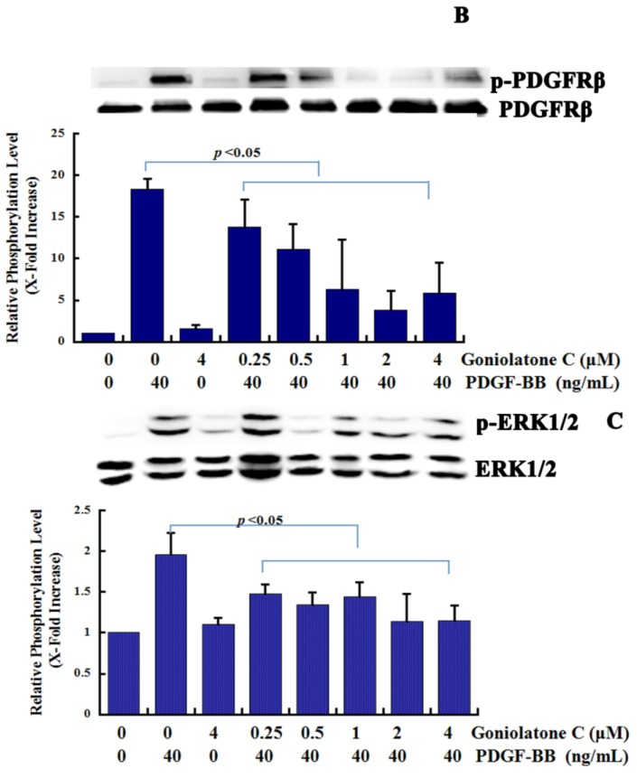 Goniolactone C inhibits the <t>PDGFR-β/ERK1/2</t> cell signaling cascade. ( A ) A PDGFRβ Kinase Enzyme System assay (PDGFRβ Kinase Enzyme System V3731) was used to measure the in vitro activity of PDGFR-β. ( B , C ) Confluent VSMCs that had been starved for 24 h in FCS-free DMEM were treated with goniolactone C at different concentrations (0–4 μM) for 2 h and were then incubated in the presence of PDGF-BB for another 30 min. The cells were then lysed, and protein expression was analyzed using 12% SDS-PAGE. Western blot analyses were performed to detect the phosphorylation of PDGFR-β (B) and ERK1/2 (C).