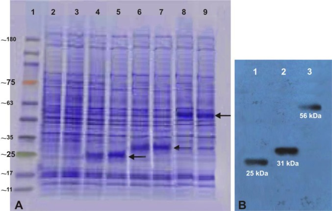 Expression and analysis of recombinant plasmids in Hela cells. The expression of recombinant plasmids were screened by SDS-PAGE, ( A ); lane 1 Tri-Color Prestained Protein MW Marker (EZ BioResearch, USA); lane 2 and 3 lysate of Hela cells without transformation and lane 4 and 5 lysate of Hela cells transformed with the recombinant <t>pcDNA3.1/Hygro-Omp25,</t> lane 6 and 7 lysate of Hela cells transformed with recombinant pcDNA3.1/Hygro-Omp31 and lane 8 and 9 lysate of Hela cells transformed with divalent pcDNA3.1/Hygro-Omp25-31 plasmids and western blot assays ( B ); lane 1, recombinant Omp25 protein (~25 kDa), lane 2, recombinant Omp31 protein (~31 kDa) and lane 3, recombinant Omp25-Omp31 protein (~56 kDa) detected of Hela cells proteins transferred on <t>PVDF</t> membrane.