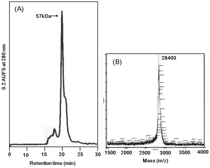 Molecular mass determination of Apios tuber lectin. ( A ) Size exclusion chromatography on a PC200S (N) column (5 μm, 7.8 × 300 nm) in 50 mM HEPES (pH 6.9) containing 0.25 M NaCl and 5 mM CaCl 2 as the mobile phase. Flow rate: 0.8 mL/min; UV detection: 280 nm. ( B ) MALDI-TOF mass spectral analysis.