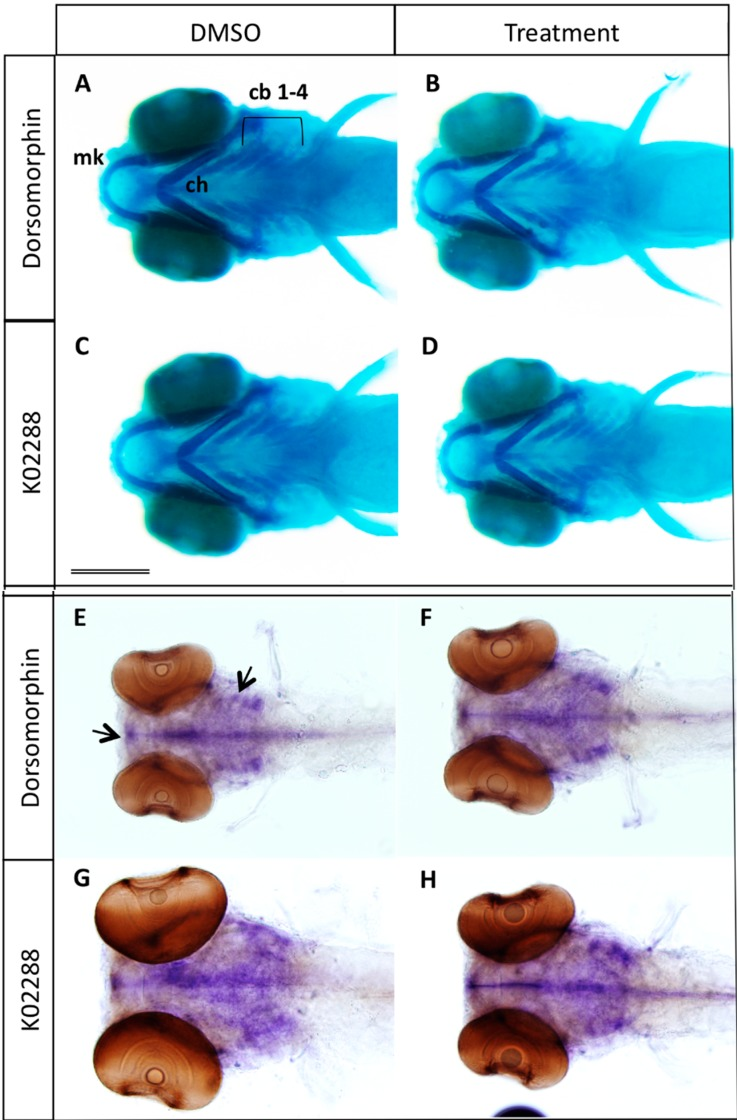 ( A – D ) Effects of BMP inhibitor treatment at 2–3 dpf on cartilage formation. Alcian blue staining of 5 dpf larvae previously treated at 2 dpf during 24 h with 100 µM dorsomorphin (B) or 20 µM K02288 (D). Control embryos (A,C) were treated with DMSO; ( E – H ) In situ hybridization using the sox9a probe. No difference in cartilage formation was observed between control (E,G) and treated (F,H). cb 1–4: ceratobranchial ray 1 to 4; ch: ceratohyal; mk: Meckel's cartilage. Scale bar: 200 µM.