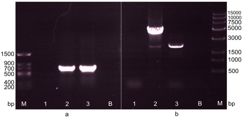 The detection of recombinant in the two transformations by PCR amplification. ( a ) The detection of recombinant in the first transformation by PCR amplification with primers Cm-F/R. M: Trans DNA Marker II. 1: Negative control, the PCR amplification band of Cm r gene with the genomic DNA of A. limacinum OUC88 as the template. 2: The PCR amplification band of Cm r gene with the genomic DNA of A. limacinum OUC_CG as the template. 3: Positive control, the PCR amplification band of Cm r gene with the plasmid pACYCDuet-1 as the template. B: Blank control; ( b ) The detection of recombinant in the second transformation by PCR amplification with primers 18S+-F/P pgk -R. M: Trans 15K DNA Marker. 1: The PCR amplification band with genomic DNA of A. limacinum OUC88 as the template; 2: The PCR amplification band (3655 bp) of 18S+- lox P- Cm r - lox P-P pgk with genomic DNA of A. limacinum OUC_CG as the template; 3: The PCR amplification band (2185 bp) of 18S+- lox P- lox P-P pgk with genomic DNA of A. limacinum OUC_EG as the template; B: Blank control.