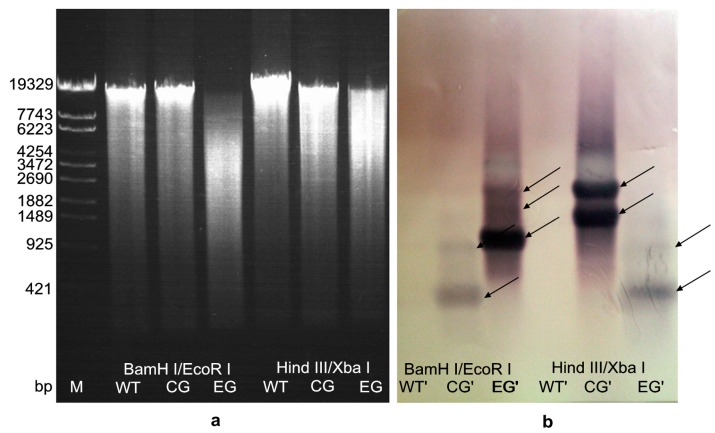 Southern blotting analysis of egfp in the genomic DNA of transformants ( a ) The results of total DNA digested by restriction enzymes. Molecular-size of markers (bp) is shown on the left. The genomic DNA of A. limacinum OUC88 (WT), A. limacinum OUC_CG and A. limacinum OUC_EG were double digested with either Bam HI/ Eco RI or Hin dIII/ Xba I; ( b ) The southern-blot hybridization results for the egfp gene. The number of fragment copies as deduced from the comparison of the hybridization bands are depicted for the transformants.