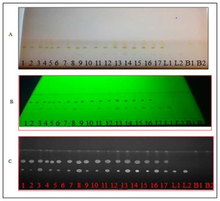 The chromatographic separation of lutein (L) and β-carotene (B): ( A ) real visible light image; ( B ) UV image at 254 nm; and ( C ) grey scale image by Quantity One software. Spots: 1 to 17 for spinach extracts; L1 and L2 for lutein controls; and B1 and B2 for β-carotene controls.