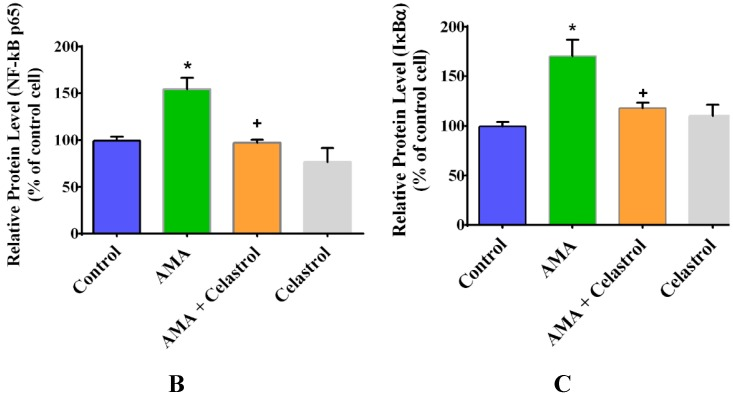 AMA treatment of human myotubes in the absence and presence of celastrol. Cells were grown in 6-well plates and treated with AMA and celastrol for 48 h. The representative images of western blot analysis ( A ) of the relative expression level of NF-κB ( B ) and IκBα ( C ) activity was measured and quantified. β-actin was used as a loading control. Protein levels calculated by densitometry were normalized relative to β-actin signals. * p