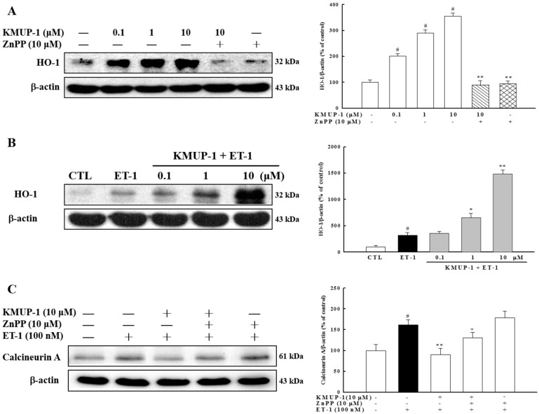 KMUP-1 treatment elevated the expression of <t>HO-1</t> protein. ( A ) H9c2 cells were preincubated with ZnPP at 10 μM for 1 h, followed by co-treatment with KMUP-1 or ( B ) combination with 100 nM of ET-1. Western blot analysis was conducted to measure the induction of HO-1 protein; ( C ) The expression of calcineurin A was analyzed. # p