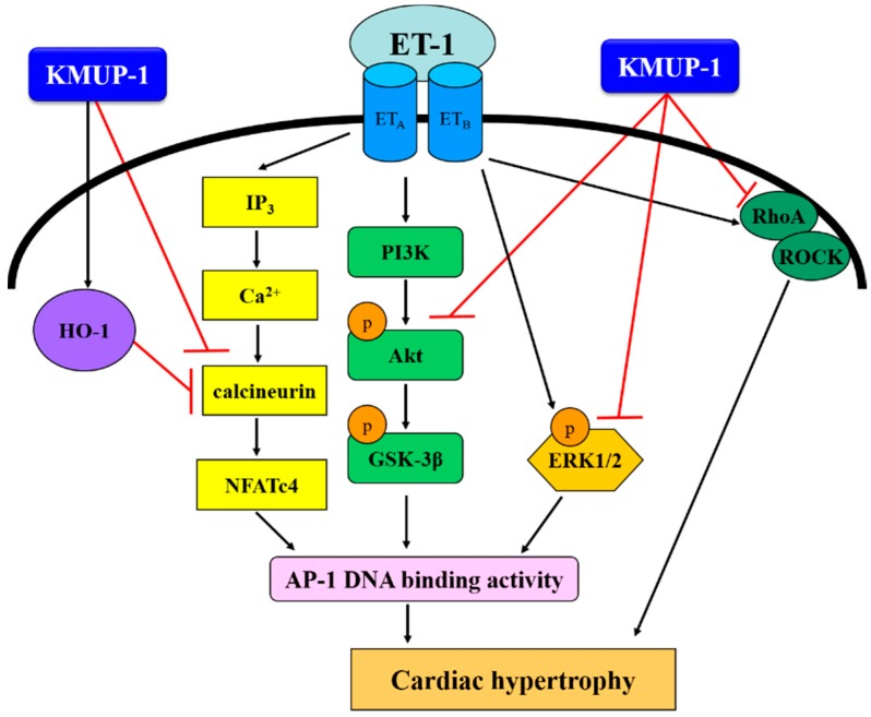 Proposed signaling pathways involved in the protective effects of KMUP-1 on ET-1-induced cardiomyocyte hypertrophy. The underlying mechanisms are associated with inhibition of p-ERK1/2, p-Akt, p-GSK-3β, calcineurin A, nuclear NFATc4 expression and Rho A translocation, subsequent AP-1 expression and up-regulation of HO-1.