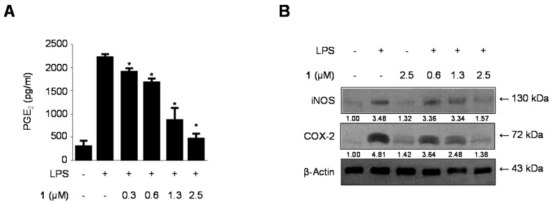 The effects of cudratricusxanthone A ( 1 ) on the PGE 2 production ( A ) and protein expression of iNOS and COX-2 ( B ) in BV2 microglia stimulated with LPS. Cells were pretreated for 3 h with the indicated concentrations of cudratricusxanthone A ( 1 ) and then stimulated for 24 h with LPS (1 μg/mL). The LPS treatment was performed in the presence of compound. The concentrations of iNOS and COX-2 ( B ) were determined as described in the Experimental Section. Western blot analyses were performed as described in the Experimental Section, and representative blots of three independent experiments are shown. The band intensity was quantified by densitometry and normalized to β-actin, and the values are presented at the bottom of the each band. Relative data represent the means ± SDs of three experiments. * p