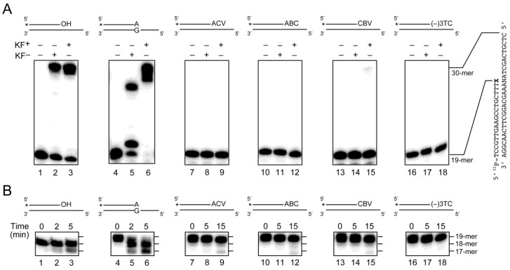 Primer extension from the CTNA-blocked termini by the Klenow fragment of Escherichia coli DNA polymerase I, with or without its proofreading 3′–5′ exonuclease activity (KF + or KF − , respectively, from Takara Bio, Inc., Shiga, Japan), in the ( A ) presence or ( B ) absence of dNTPs. ( A ) The 32 P-labeled oligonucleotides, 32 P-d(TCCGTTGAAGCCTGCTTT)X, where X represents no added nucleoside (OH, lanes 1–3), 2'-deoxyadenosine (lanes 4–6), acyclovir (ACV, lanes 7–9), abacavir (ABC, lanes 10–12), carbovir (CBV, lanes 13–15) or lamivudine ((−)3TC, lanes 16–18), were hybridized with their complementary strands, d(CTCGTCAGCTANAAAGCAGGCTTCAACGGA), where N represents A (for ABC and an oligonucleotide without CTNAs), G (for A and (−)3TC) or C (for ACV and CBV). Each substrate was incubated at 37 °C for 10 min, in the absence (lanes 1, 4, 7, 10, 13 and 16) or presence of KF − (0.1 unit, lanes 2, 5, 8, 11, 14 and 17) or KF + (0.1 unit, lanes 3, 6, 9, 12, 15 and 18), in 10 mM Tris-HCl buffer (pH 7.9) containing 50 mM NaCl, 10 mM MgCl 2 , 10 mM DTT and 100 µM dNTPs; ( B ) The 32 P-labeled substrates were incubated with KF + at 37 °C for the indicated incubation time, in the same reaction buffer without dNTPs.