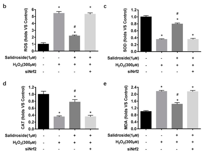 Effects of SAL on H 2 O 2 -induced cytotoxicity and oxidative stress in Nrf2 knockdown HUVECs. ( a ) Cell viability analysis. HUVECs were preincubated with or without Nrf2 siRNA, then treated with 1 μM SAL for 24 h before being treated with 300 μM H 2 O 2 for another 24 h, or 300 μM H 2 O 2 for 24 h. Cell viability was determined using MTT assay. ( b – e ) HUVECs were preincubated with or without Nrf2 siRNA, then treated with 300 μM H 2 O 2 for 4 h, or 1 μM SAL for 24 h followed by 300 μM H 2 O 2 for an additional 4 h. ( b ) Intercellular ROS levels: Intercellular ROS levels were determined by DCF fluorescence. After various treatment, the cells were stained with 10 μM DCFH-DA in serum free medium for 30 min in the dark. Fluorescence intensity was recorded using a Synergy TM 4 Multi-Mode Microplate Reader. ( c – e ) SOD, CAT activities, and MDA content: SOD, CAT activities, and MDA content were measured using respective assay kits. Data are presented as mean ± SD values of three independent experiments. * p