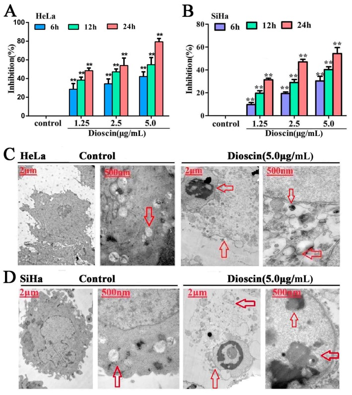 Dioscin inhibited cell viability and induced ultrastructure changes. ( A ) Inhibition effects of dioscin on HeLa cells; ( B ) Inhibition effects of dioscin on SiHa cells; ( C ) Effects of dioscin on the ultrastructure of HeLa cells by TEM assay; ( D ) Effects of dioscin on the ultrastructure of SiHa cells by TEM assay. Data are presented as mean ± SD ( n = 5). ** p