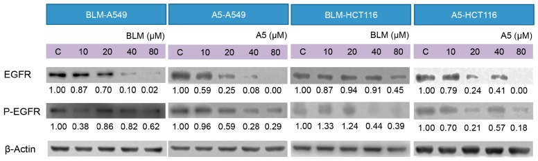 Effects of BLM and A5 on epidermal growth factor receptor (EGFR) and phosphorylated-EGFR in A549 and HCT116 cells. Cells were seeded in 10-cm dishes for 24 h followed by treating with serial concentrations of BLM and A5 (0, 10, 20, 40, 80 μM) for another 24 h. The cells were then harvested for immunoblot analysis as described in the Materials and Methods section. The numbers underneath the blots represent band intensity (normalized to β-Actin, the means of three independent experiments) measured by Image J software. The standard deviations (all within ±15% of the means) were not shown. β-Actin was served as an equal loading control. The experiments were repeated three times.