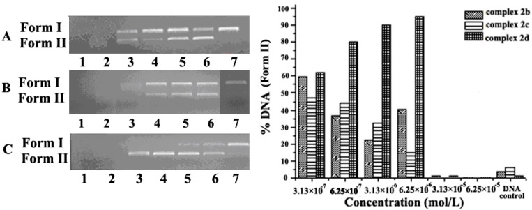 Histograms and electropherograms (the right side figure) representing cleavage of pUC19 plasmid DNA (0.008 µg/µL) by different concentrations of 2b (pH = 7.4), 2c (pH = 7.4) and 2d (pH = 7.4) in buffer (5 mM Tris-HCl/10 mM NaCl) at 37°C for 6 h. ( A ) Complex 2b ; Lanes 1–6: 6.25 × 10 − 5 , 3.13 × 10 − 5 , 6.25 × 10 − 6 , 3.13 × 10 − 6 , 6.25 × 10 − 7 , 3.13 × 10 − 7 mol/L, Lane 7 = DNA control, respectively; ( B ) Complex 2c; Lanes 1–6: 6.25 × 10 − 5 , 3.13 × 10 − 5 , 6.25 × 10 − 6 , 3.13 × 10 − 6 , 6.25 × 10 − 7 , 3.13 × 10 − 7 mol/L, Lane 7 = DNA control, respectively; ( C ) Complex 2d ; Lanes 1–6: 6.25 × 10 − 5 , 3.13 × 10 − 5 , 6.25 × 10 − 6 , 3.13 × 10 − 6 , 6.25 × 10 − 7 , 3.13 × 10 − 7 mol/L, Lane 7 = DNA control, respectively.