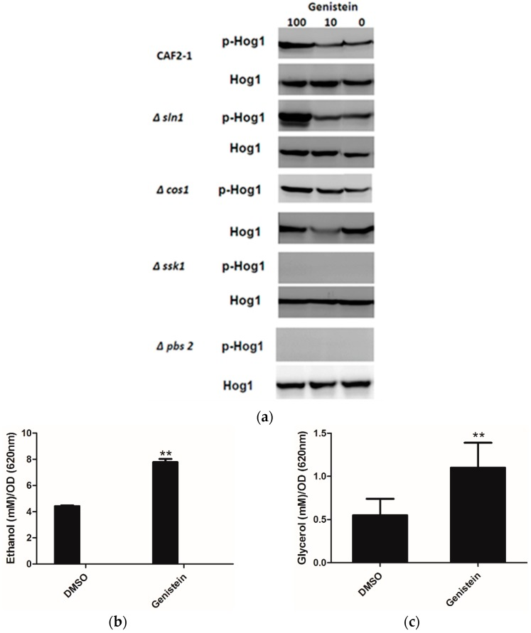 ( a ) Phosphorylation of Hog1p of C. albicans strains after treatment with genistein and solvent for 15min. Hog1p was detected by Hog1 (y-215) <t>sc</t> 9079 rabbit <t>polyclonal</t> <t>IgG</t> and phosphorylated Hog1p (Hog1-P) by Phospho-p38 MAPK (Thr180/182) 3D7 rabbit mAb at a site corresponding to 50 kDa; ( b , c ) Effect of genistein on glycerol and ethanol production in C. albicans . ** p