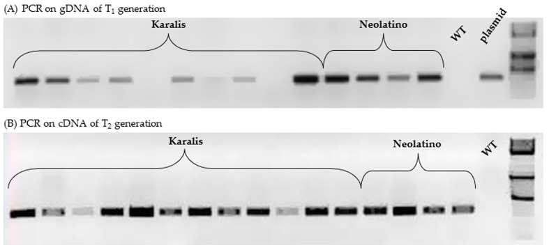 <t>PCR</t> analysis of some progeny of transgenic plants. The presence of the gus gene was proven by electrophoresis of amplified product (300 bp) on gDNA from plants of T 1 families ( A ) and on cDNA from plants of T 2 progeny ( B ). <t>DNA</t> from non-transformed (control) plants was used as a negative control, while the plasmid (pWBVec10a) carried by the A. tumefaciens strain, was used as a positive control. The 1-kb DNA Molecular Weight Ladder is represented in the last lane.