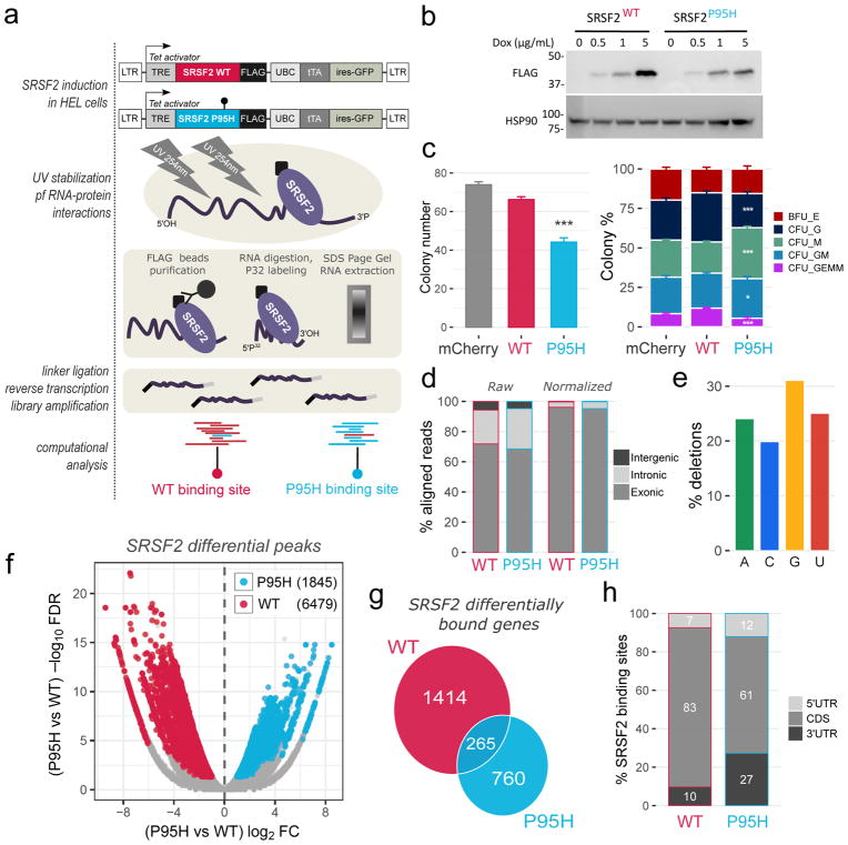 The SRSF2 P95H mutation alters SRSF2 in vivo RNA interactome (a) Overview of the HITS-CLIP procedure. Top: generation of lentiviral vector constructs expressing C-terminally Flag-tagged SRSF2 WT and P95H in a doxycycline inducible manner. Center: HITS-CLIP key experimental steps. Bottom: computational identification of differentially bound regions, preferentially bound by WT (in red) or by P95H (in cyan) SRSF2. (b) Dose dependent inducible expression of Flag-tagged SRSF2 (WT and P95H). (c) Colony Forming Unit Assay for control CD34+ cells (mCherry), and cells with transient induction of SRSF2 WT or P95H. Left panel: total number of colonies. Right panel: composition of colonies (mean values + SEM). Total colony numbers and colony type percentages were compared between WT and P95H by two-tailed t-test (*P