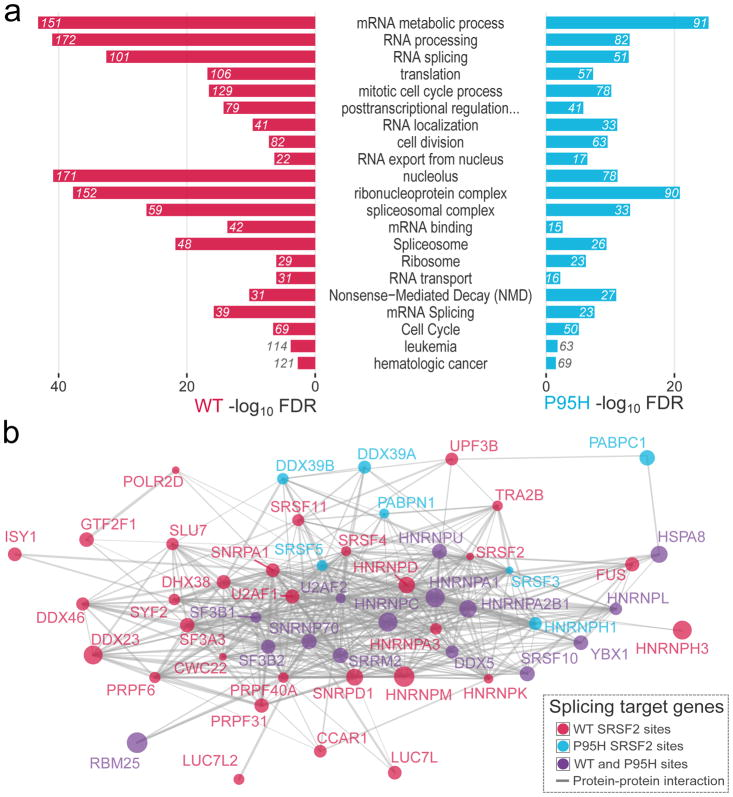 Differentially bound SRSF2 targets are enriched in RNA binding and splicing genes (a) Functional annotation enrichment analysis of differentially bound transcripts by WT and P95H SRSF2. The number of genes belonging to each category is displayed. (b) Protein-protein interaction network of SRSF2 RNA interactors associated with splicing. The size of each node is proportional to the number of differential SRSF2 binding sites: WT (in red), P95H (in cyan) or both (in violet).