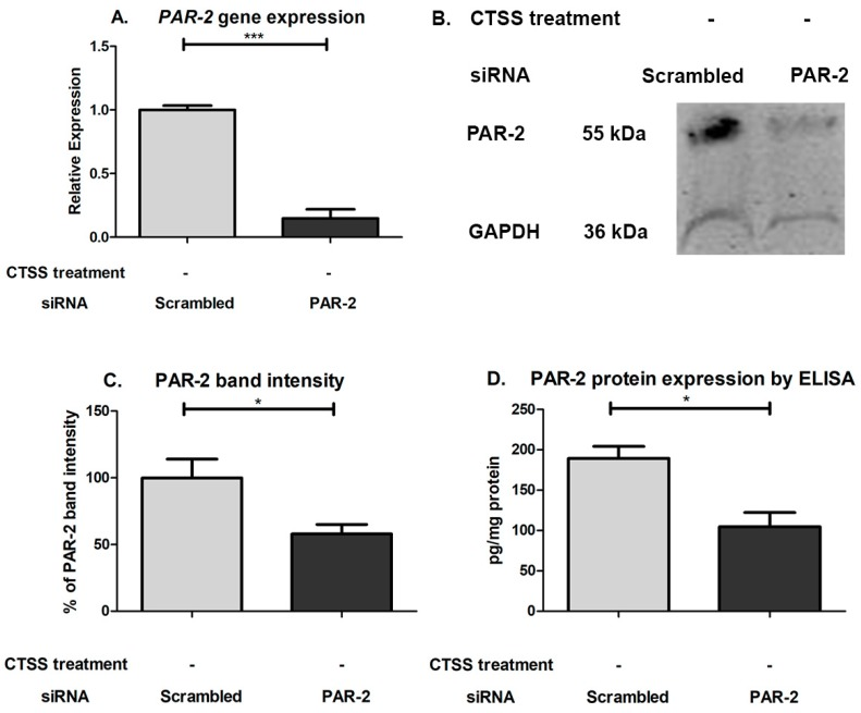 PAR-2 gene and protein expression after 48 h of PAR-2 or scrambled siRNA transfection in human corneal epithelial cells. ( A ) PAR-2 gene expression in HCE-T cells transfected with PAR-2 or scrambled siRNA. PAR-2 gene expression was normalized to expression of the endogenous gene, GAPDH ( n = 3 samples/group; ( B ) PAR-2 bands measured by Western Blotting in lysates from human corneal epithelial cells transfected with PAR-2 or scrambled siRNA; ( C ) PAR-2 band intensity in human corneal epithelial cells transfected with PAR-2 or scrambled siRNA. The intensity signal of PAR-2 band was normalized to the band intensity of GAPDH and designated as 100% for scrambled siRNA-treated cells ( n = 5 samples/group); ( D ) PAR-2 protein expression in HCE-T cells transfected with PAR-2 or scrambled siRNA as determined by ELISA. PAR-2 protein expression was normalized to total protein in lysates ( n = 3 samples in PAR-2 siRNA transfected and n = 2 in scrambled siRNA transfected, * p ≤ 0.05, *** p ≤ 0.001 data are represented as mean ± SEM, and a two-tailed, unpaired Student's t -test was used to compare PAR-2 siRNA transfected to scrambled siRNA transfected cells).