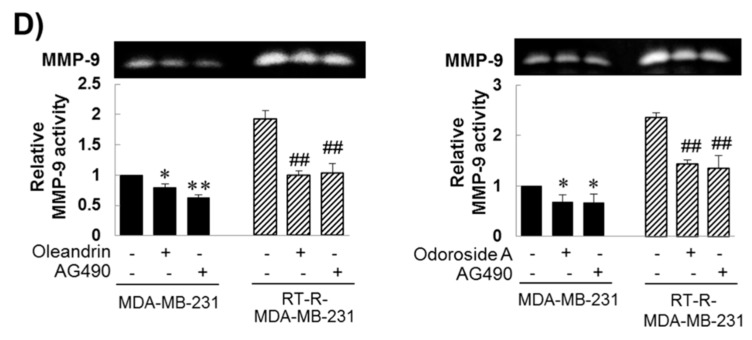 Inhibitory effects of oleandrin and odoroside A on Oct3/4, β-catenin, and MMP-9 through the downregulation of STAT-3 phosphorylation. ( A ) Phospho-STAT-3 and total STAT-3 protein levels were detected in the cell lysates of ECs, MDA-MB-231 cells and RT-MDA-MB-231 cells by Western blot analysis. ( B – E ) MDA-MB-231 and RT-R-MDA-MB-231 cells were treated with oleandrin (50 nM), odoroside A (100 nM) and AG490 (10 μM; a phospho-STAT-3 inhibitor) ( B – D ) for 24 h. After treatment, phospho-STAT-3 ( B ), OCT3/4 and β-catenin ( C ) were determined by Western blot analysis, and MMP-9 activity was determined ( D ). The values are expressed as the means ± SEM from three independent determinations. * p