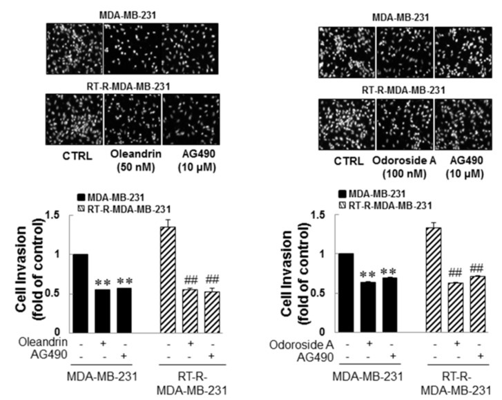 Anticancer effects of oleandrin and odoroside A in MDA-MB-231 and RT-MDA-MB-231 cells through the downregulation of phospho-STAT-3. MDA-MB-231 and RT-MDA-MB-231 cells were treated as described in Figure 5 , and then the cells were collected and added to ECs-Matrigel-coated insert wells. The cells were incubated overnight (for 16 h) at 37 °C, and then the cells that had invaded across the membrane were stained with DAPI and counted as described in Figure 3 (×200 field image). The values are expressed as the means ± SEM from three independent determinations. ** p
