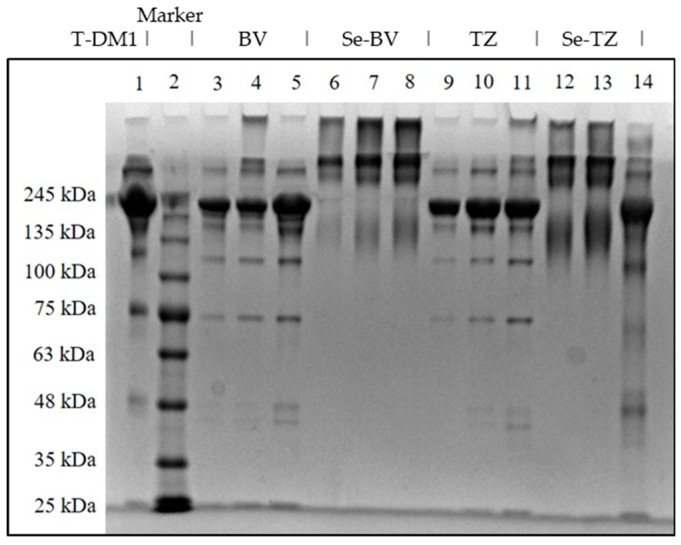 SDS-PAGE of Native and Se-conjugated mAbs under reducing conditions followed by Coomassie Blue R-250 staining. Lane 1: Kadcyla ® 20 µg; Lane 2: Marker; Lane 3: BV 5 µg; Lane 4: BV 10 µg; Lane 5: BV 20 µg; Lane 6: Se-BV 5 µg; Lane 7: Se-BV 10 µg; Lane 8: Se-BV 20 µg; Lane 9: TZ 5 µg; Lane 10: TZ 10 µg; Lane 11: TZ 20 µg, Lane 12: Se-TZ 10 µg; Lane 13: Se-TZ 20 µg; Lane 14: Gamma globulin 20 µg. (BV: Bevacizumab, Se-BV: Selenobevacizumab, TZ: Trastuzumab, Se-TZ: Selenotrastuzumab).