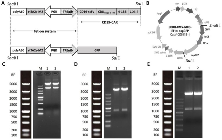 Vector construction and restriction endonuclease analysis. ( A ) The iCAR19 construct (upper) consisted of the Tet-on sequence and the CD19-CAR fragment. The iGFP construct (lower) consisted of the Tet-on sequence and the GFP sequence. ( B ) Constructs in ( A ) were respectively cloned into the pCDH-CMV-MCS-EF1α-copGFP <t>lentiviral</t> backbone between SnaBI and SalI sites. ( C − E ) the restriction endonuclease analysis results of pCDH-induce ( C ), iGFP ( D ), and iCAR19 ( E ) transfer vector plasmid. SnaBI-SalI digestion was used for pCDH-induce vector. SalI digestion was used for iGFP and iCAR19 vectors.