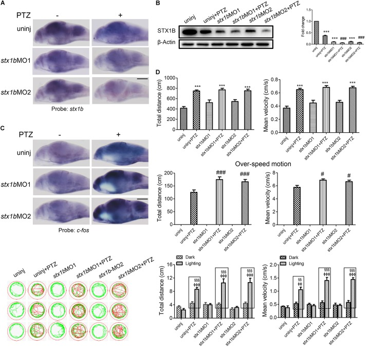 Larval seizure was aggravated by downregulation of <t>stx1b</t> transcription in the PTZ-induced seizure model. Levels of stx1b gene transcription ( n = 20) (A) and STX1B protein ( n = 3) (B) were reduced and c-fos gene transcription was increased in the larval (7 dpf) brain ( n = 20) (C) by stx1b <t>morpholino</t> <t>oligos</t> injection in the PTZ model, as compared with in the PTZ-only and the morpholino oligos-only injection models. The larval swimming experiment ( n = 24) (D) showed that average speed and total distance were not changed, but that the abnormal pathway and overspeed were increased following 20 min in the dark condition and that photosensitive seizure was aggravated under the condition of light–dark transition with 5 min in the dark and 10 s in the light for three cycles in the PTZ plus stx1b morpholino oligos larvae, as compared with the two groups of the PTZ-only and the stx1b morpholino oligos-only injection models. The data show average speeds during the 20 min in the dark and the 10 s in the dark–light transformation; the boxes indicate the difference of locomotion distances and speeds between the light–dark transitions. Swimming tracks were recorded at 2 min in the dark condition and the red trajectory indicates overactive movement and the green trajectory indicates active movement. stx1b -MO1 and stx1b -MO2 were two morpholino oligos that bound to the stx1b messenger RNA initiate sequence with a different sequence; by using two target oligos, their inhibition effect was confirmed with each other. ∗∗∗ P