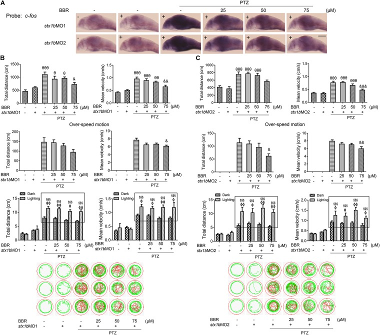 Downregulation of STX1B weakened the effects of BBR on anticonvulsant in the PTZ-induced seizure zebrafish model. (A) Hybridization in situ showed that there was a change in the c-fos messenger RNA level in the larval (7 dpf) brain that was induced by BBR in the PTZ plus stx1b morpholino oligos group versus in the three control groups of wild-type, stx1b morpholino oligos injection, and PTZ plus stx1b morpholino oligos ( n = 20). (B,C) STX1B downregulation attenuated the efficiency of BBR inhibition on larval overexcited locomotion in terms of speed and distance under non-stimulation conditions and eliminated the action of BBR under dark–light transitions. Swimming trajectories are presented in 2 min recording charts; red tracks indicate over locomotion, while the rectangles indicate the difference between light–dark transitions ( n = 24). P