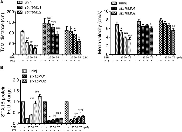 Comparative analysis of epilepsy-like seizure and STX1B protein levels between BBR with and without stx1b morpholino oligos injection in the PTZ-induced seizure zebrafish. (A) Behavioral comparison indicates that the BBR effect of antiseizure was weakened by stx1b morpholino oligo injection. (B) Comparison of STX1B protein levels induced by BBR between stx1b gene knockdown and non-knockdown. Western blotting showed that levels of STX1B protein were significantly decreased by stx1b morpholino oligo injection under BBR existence. The histograms are generated from data in Figure 5 of behavior and western blotting, Figure 6 of behavior, and Figure 7 of western blotting. # P
