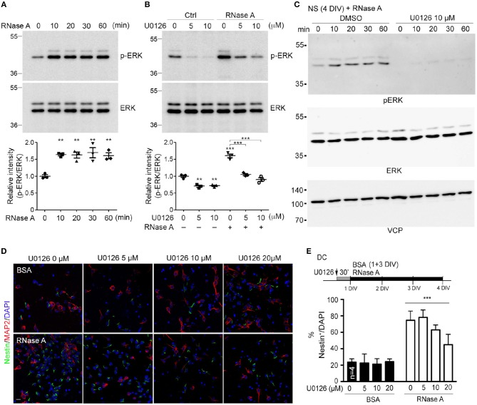 RNase A induces NPC proliferation through the ERK pathway. (A) At 1 DIV, dissociated cortical and hippocampal cultures were treated with 100 μg/ml RNase A (Qiagen) and harvested at different time-points, as indicated. ERK activities were detected by means of immunoblotting with antibody recognizing phosphorylated ERK1/2 (pERK). (B) Pretreatment with U0126 (a MEK1/2 inhibitor) at dosages of 0, 5, or 10 μM for 30 min was performed to examine the specificity of RNase A for ERK activation. RNase A or BSA control (100 μg/ml) was added 20 min before harvesting. Quantification data shown at the bottoms of (A) and (B) are mean and SEM of three independent experiments. Statistical analyses were performed using one-way ANOVA (A) and two-way ANOVA (B) . ** P