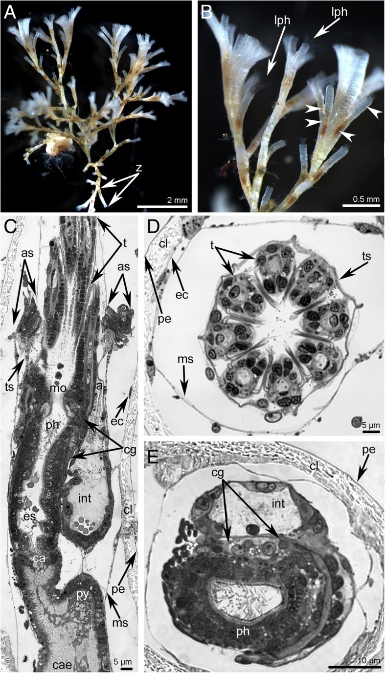 Organization of colony and zooids in Crisia eburnea . Photographs of live animals ( a - b ) and semithin sections (C-E). a A part of colony. b The same colony in higher magnification: tentacles and pores (arrowheads) in the wall of cystids are visible. c Sagittal longitudinal section of distal portion of zooid; tentacles semi-retracted. d Eight tentacles in the cross section. e Cross section of two branches of the digestive tract. Abbreviations: a – anus; as – atrial sphincter; ca – cardia; cae – caecum; cl – calcified layer; cg – cerebral ganglion; ec – epidermis; es – esophagus; int – intestine; lph – lophophore; mo – mouth; ms – membranous sac; pe – unmineralized cuticle; ph – pharynx; py - pylorus; t – tentacle; ts – tentacle sheath; z – zooid