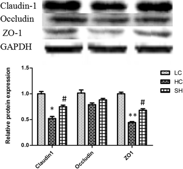 Protein abundance of claudin-1, occludin, and ZO-1 in the colonic epithelium of goats in the LC, HC, and SH groups. The abundance of claudin-1 and ZO-1 proteins in the HC group significantly decreased compared with that in the LC group, while the levels in the SH group were not significantly altered. The results are expressed as fold changes relative to those in the LC group (mean ± SEM). * indicates P